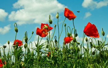 Earth - Poppy Wallpapers and Backgrounds ID : 408373