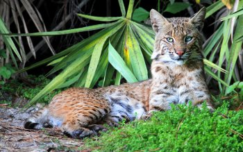 Animal - Lynx Wallpapers and Backgrounds ID : 408970