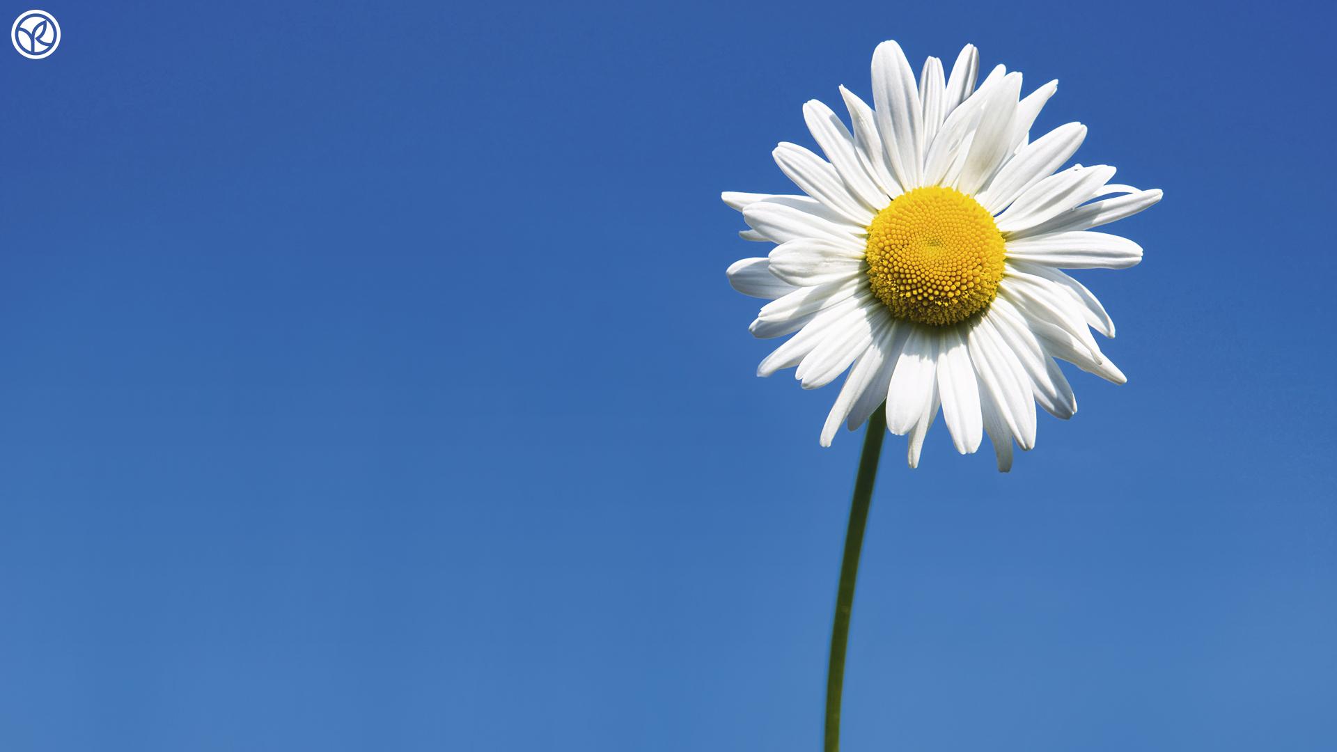 daisies wallpaper iphone 6