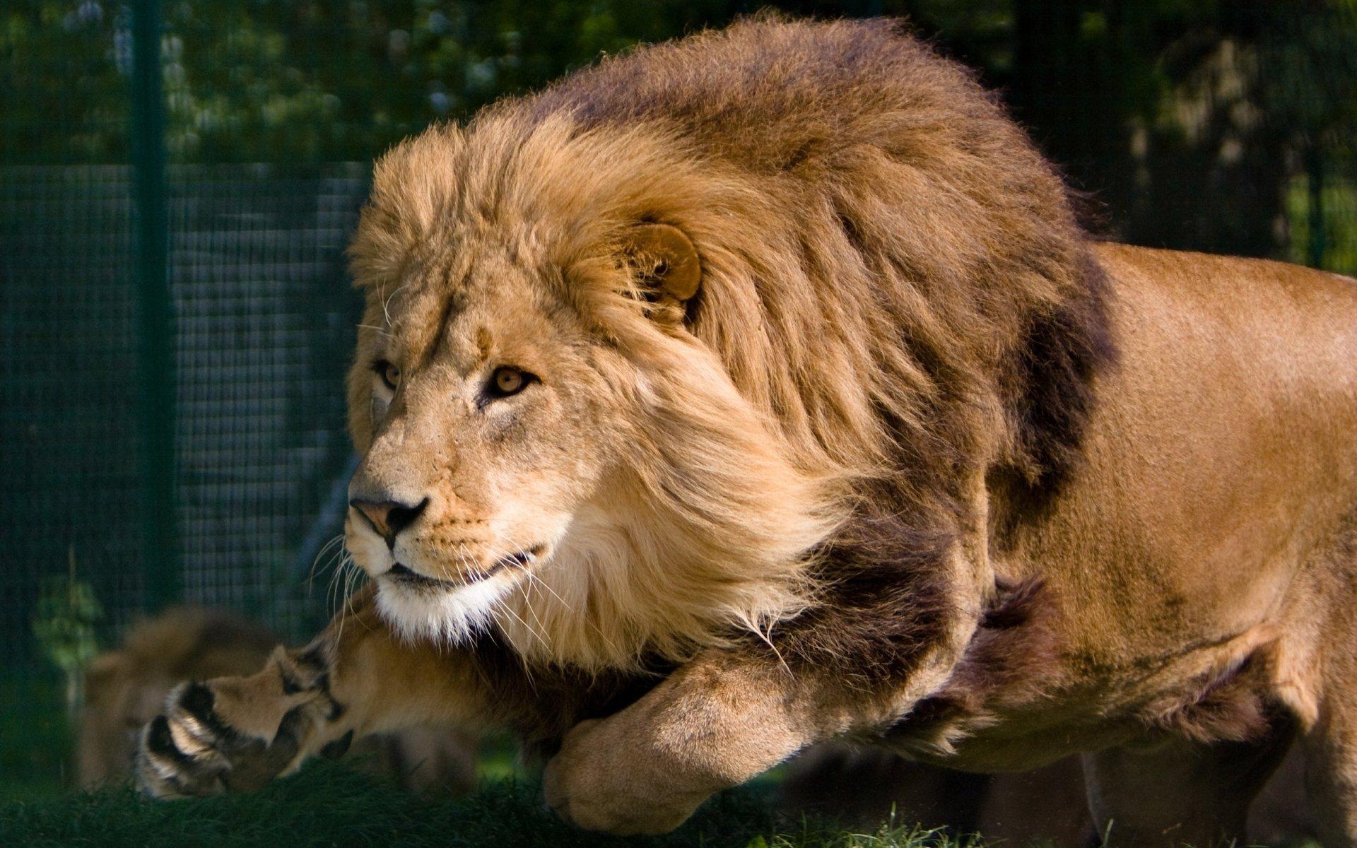 Animal - Lion  Wallpaper