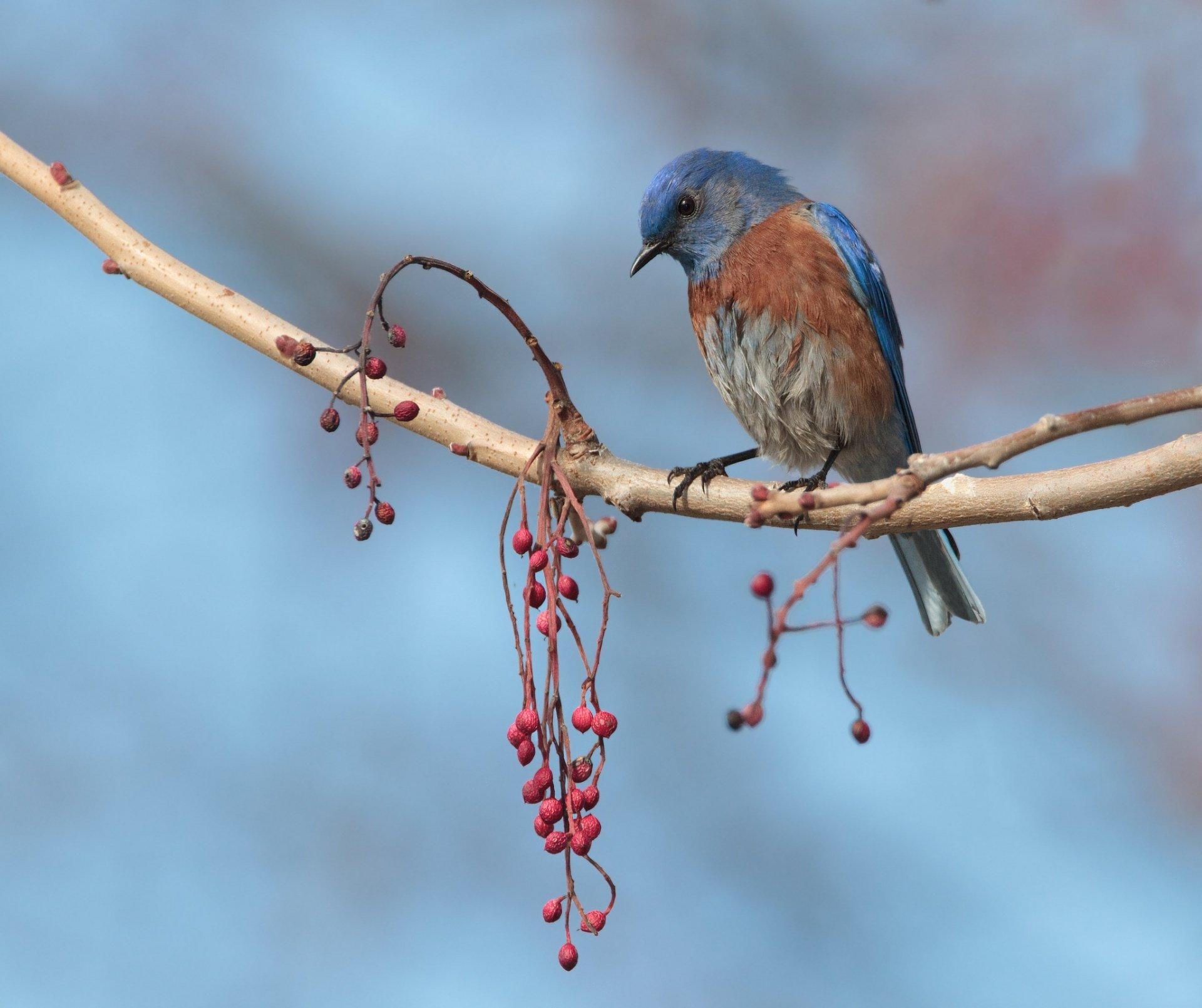 Eastern Bluebird HD Wallpaper