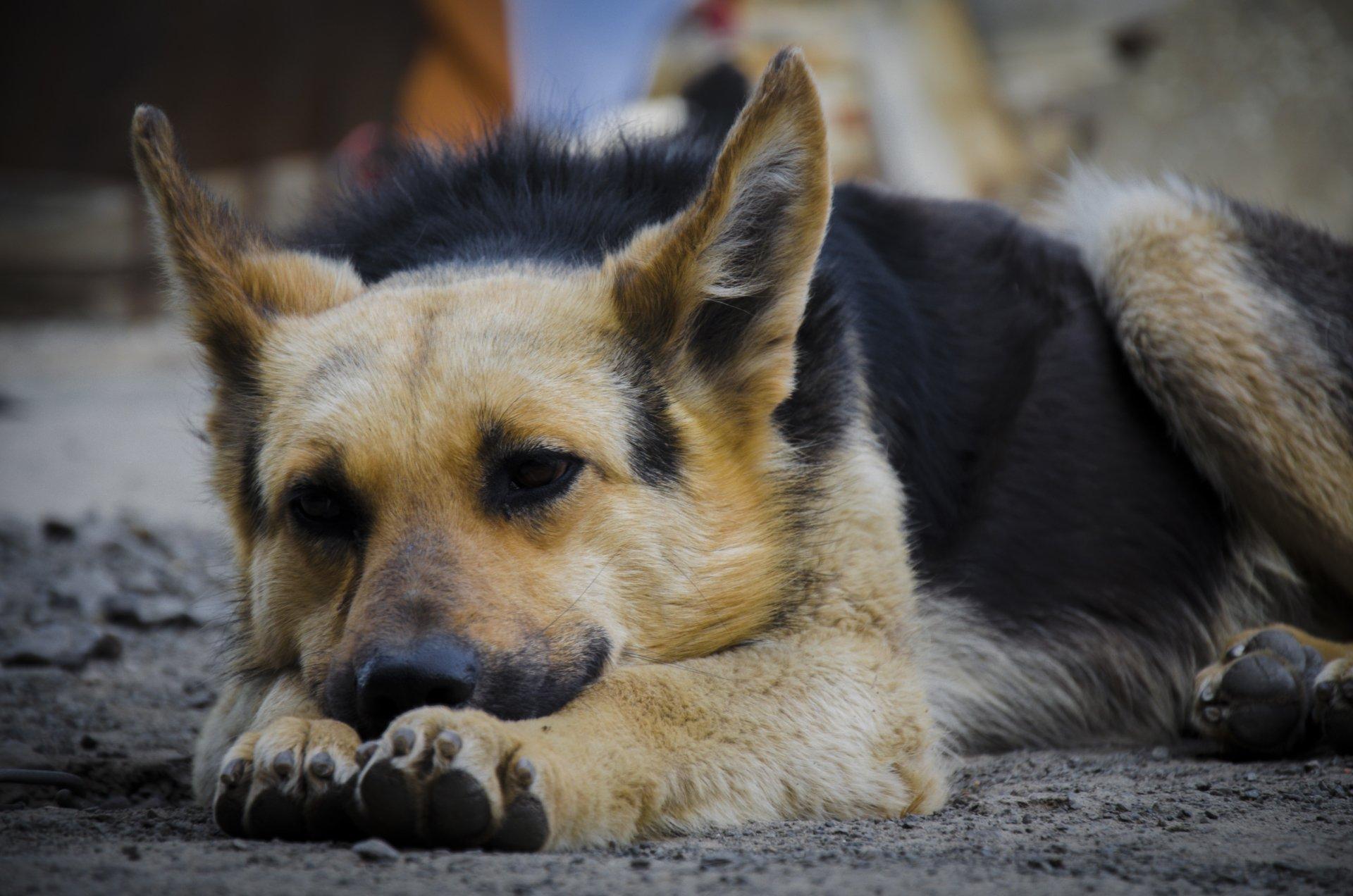 animals german shepherd desktop - photo #24