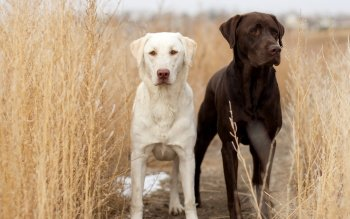 Animalia - Labrador Retriever  Wallpapers and Backgrounds ID : 409023