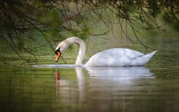 Animal - Swan Wallpapers and Backgrounds ID : 409188