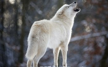 Animal - Wolf Wallpapers and Backgrounds ID : 409381