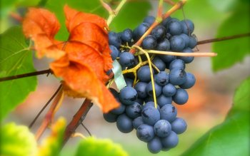 Alimento - Grapes Wallpapers and Backgrounds ID : 409437