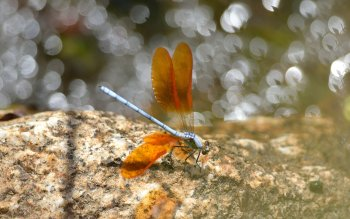 Animal - Dragonfly Wallpapers and Backgrounds ID : 409504