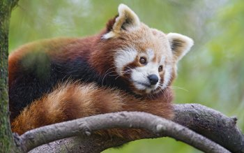 Animal - Red Panda Wallpapers and Backgrounds ID : 409507