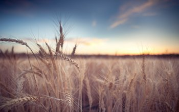 Earth - Wheat Wallpapers and Backgrounds ID : 409768