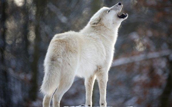 Animal Wolf HD Wallpaper   Background Image