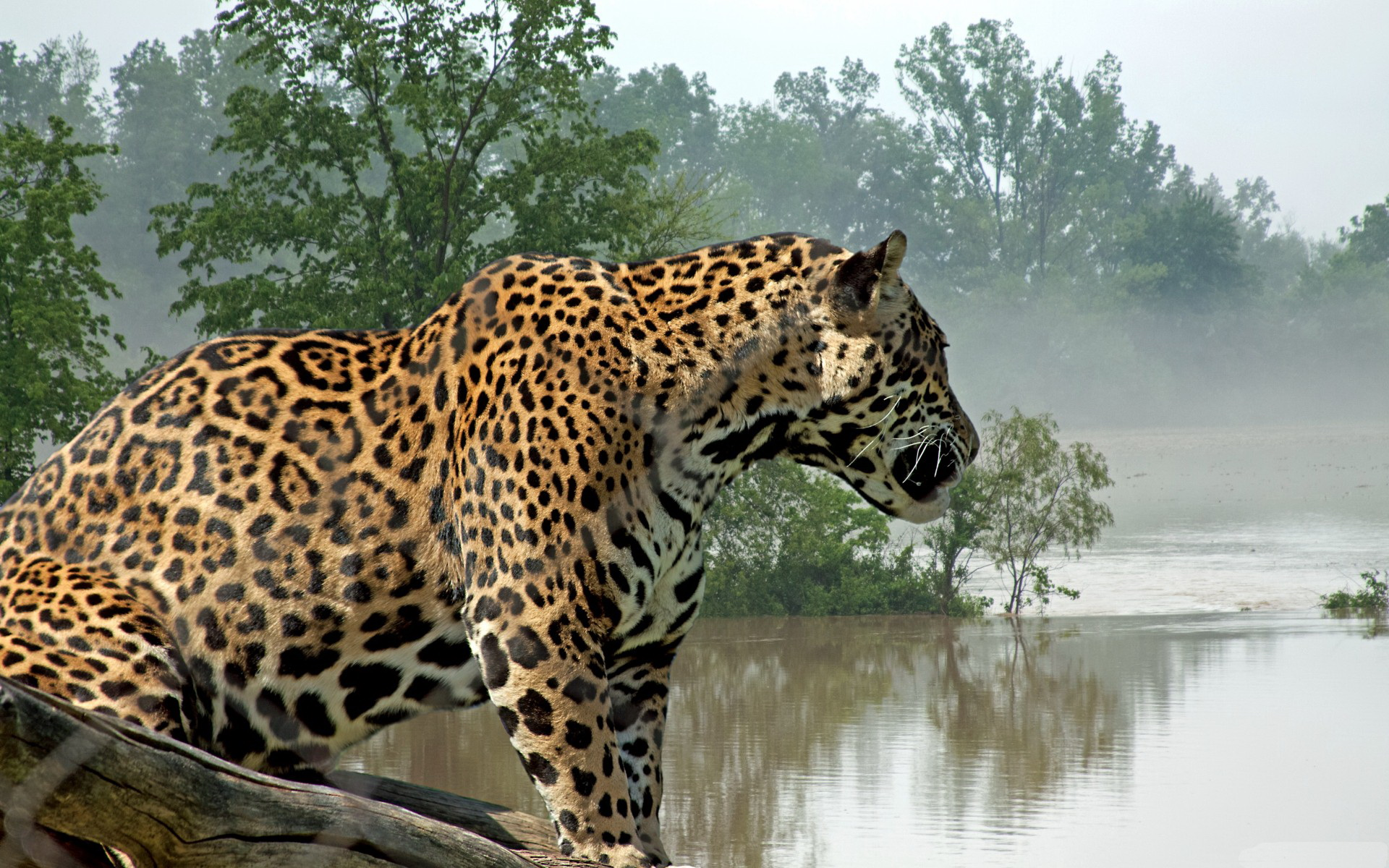 Jaguar Full Hd Wallpaper And Background 1920x1200 Id