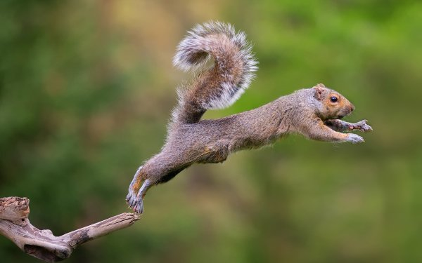 Animal Squirrel HD Wallpaper | Background Image