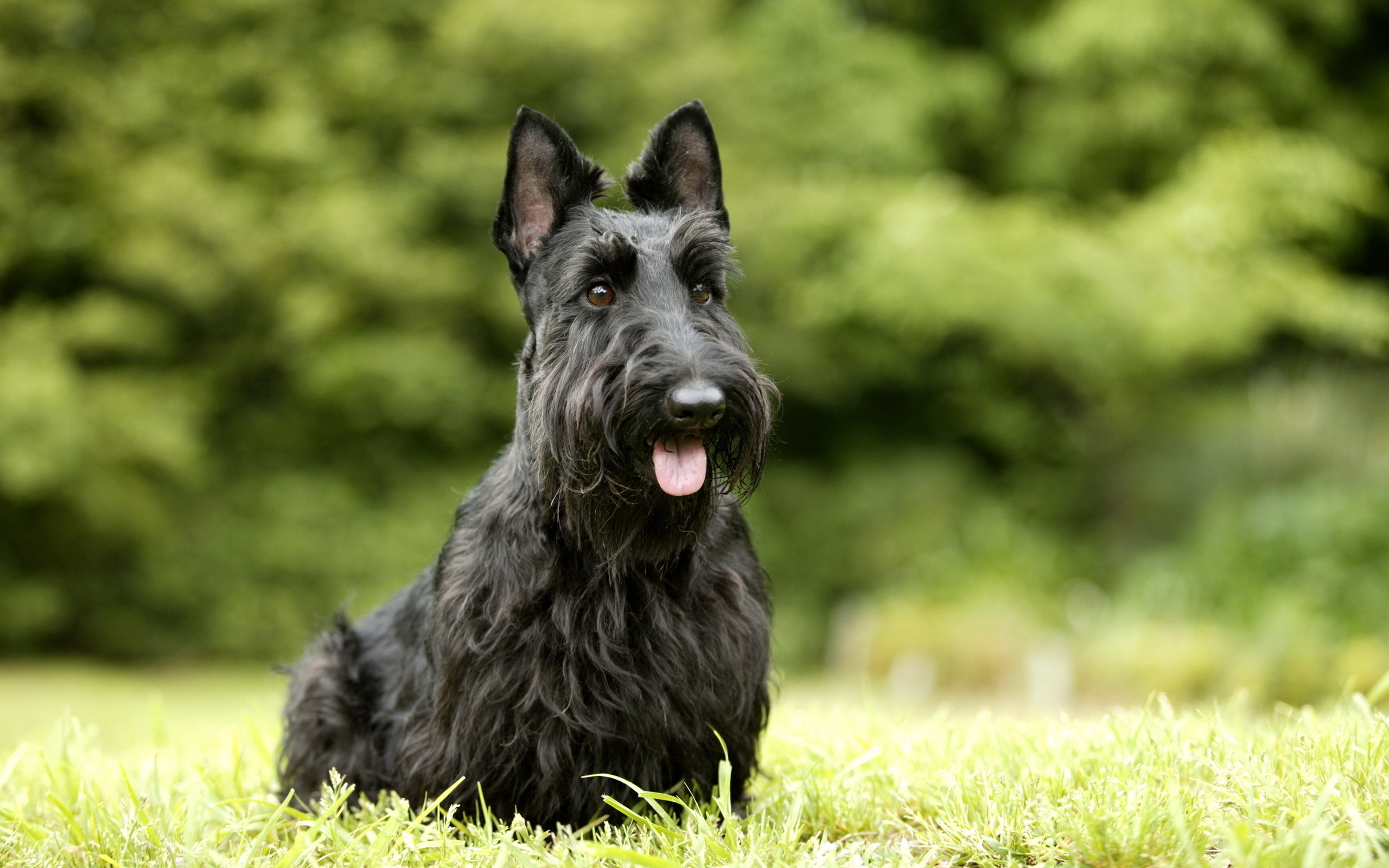 Scottish Terrier Hd Wallpapers Backgrounds Wallpaper