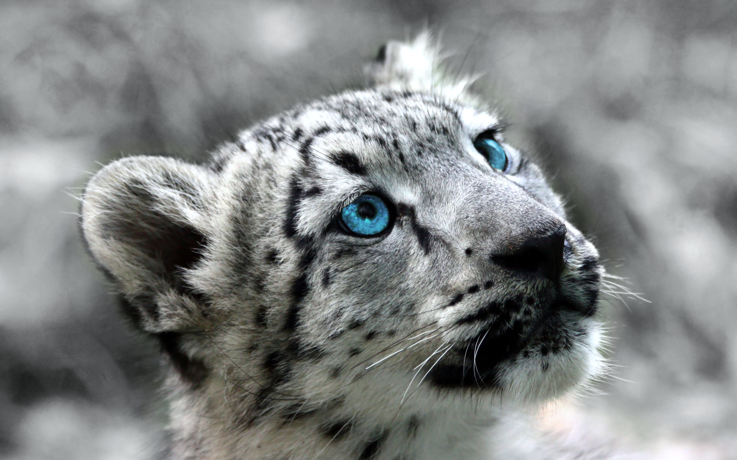 Snow Leopard Hd Wallpaper Background Image 2560x1600