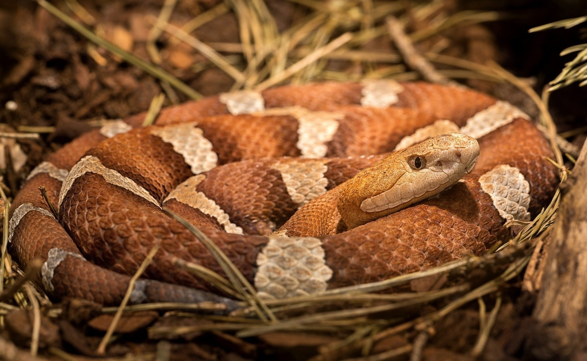 Animal - Snake  Reptile Wildlife Copperhead (Snake) Wallpaper
