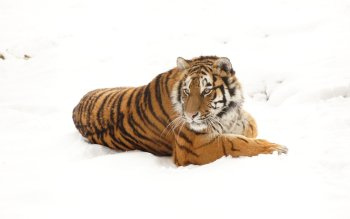 Animalia - Tigre Wallpapers and Backgrounds ID : 411424