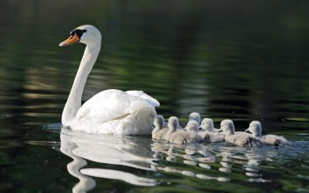 Animalia - Swan Wallpapers and Backgrounds ID : 411527