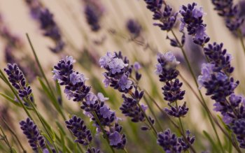 Earth - Lavender Wallpapers and Backgrounds ID : 412632
