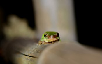 Animal - Frog Wallpapers and Backgrounds ID : 413103