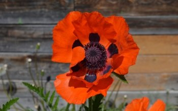 Erde - Poppy Wallpapers and Backgrounds ID : 413106
