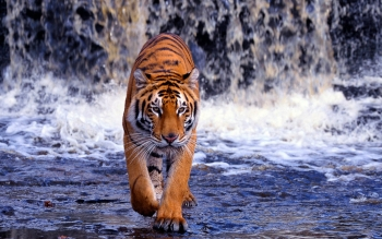 Animalia - Tigre Wallpapers and Backgrounds ID : 413411