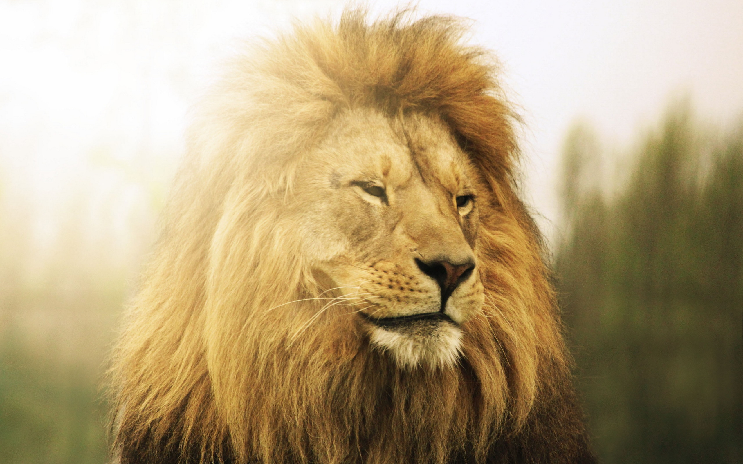 Lion Full HD Wallpaper and Background | 2560x1600 | ID:414926