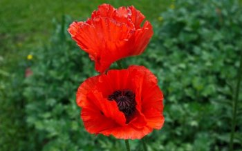 Terra - Poppy Wallpapers and Backgrounds ID : 414235