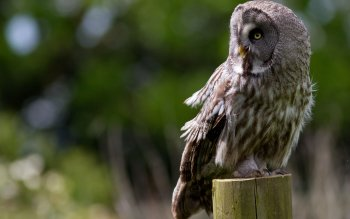 34 Great Grey Owl Hd Wallpapers Background Images