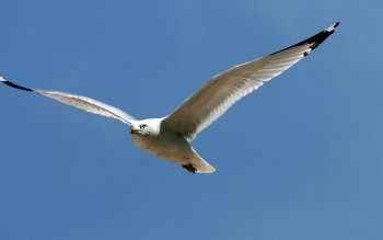 Animal - Seagull Wallpapers and Backgrounds ID : 414813