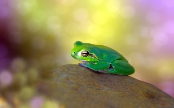 Animal - Frog Wallpapers and Backgrounds ID : 414942