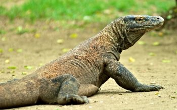 Animal - Komodo Dragon Wallpapers and Backgrounds ID : 415755
