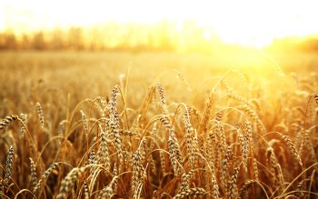 Earth - Wheat Wallpapers and Backgrounds ID : 415977
