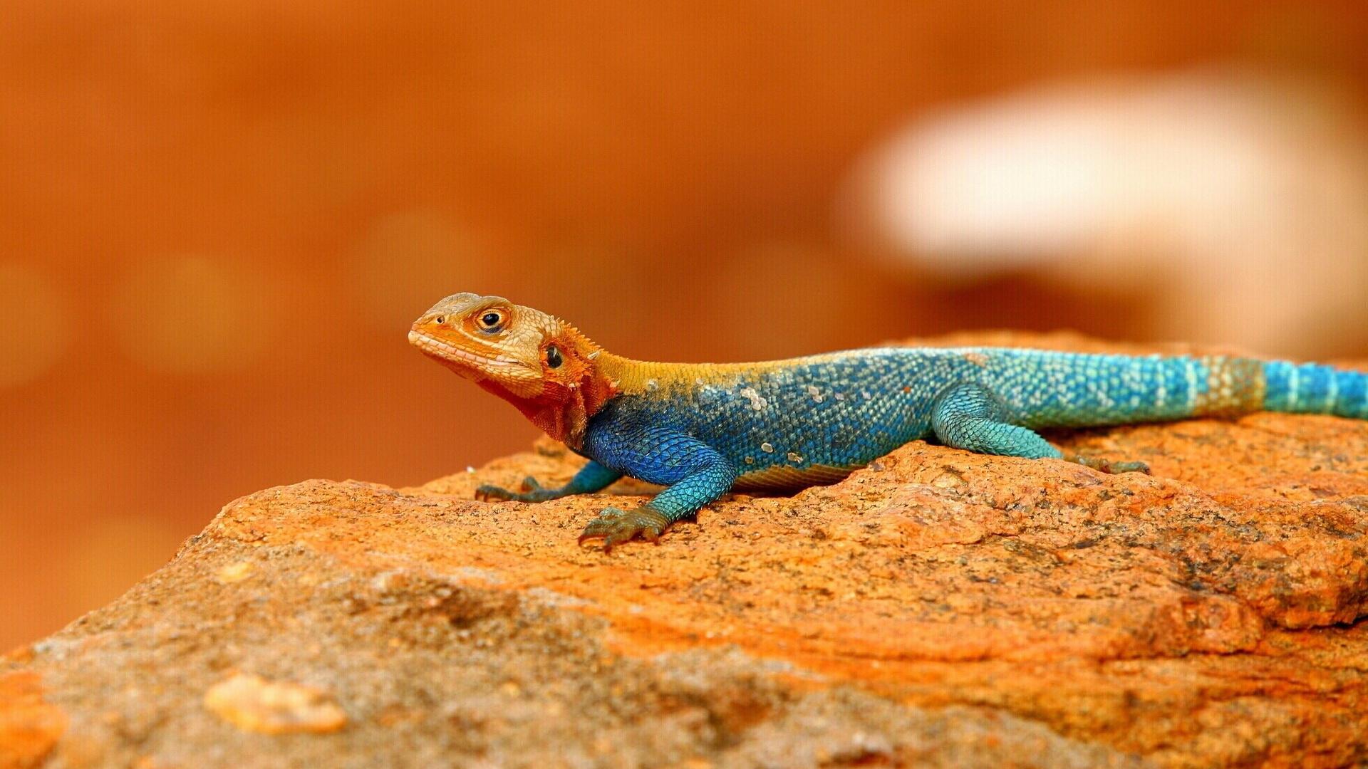 The common agama, red-headed rock agama, or rainbow agama ...