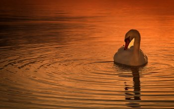 Animalia - Swan Wallpapers and Backgrounds ID : 416120