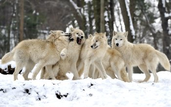 Dierenrijk - Wolf Wallpapers and Backgrounds ID : 416230