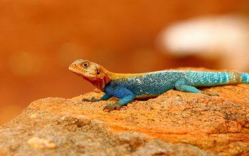 Animal - Rainbow Agama Wallpapers and Backgrounds ID : 416292