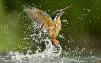 Animalia - Kingfisher Wallpapers and Backgrounds ID : 416383