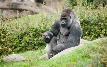 Animalia - Gorilla Wallpapers and Backgrounds ID : 416389