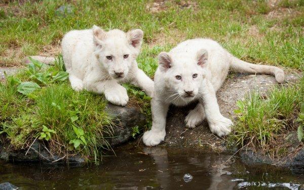 Animal White Lion Baby Animal predator Lion HD Wallpaper | Background Image
