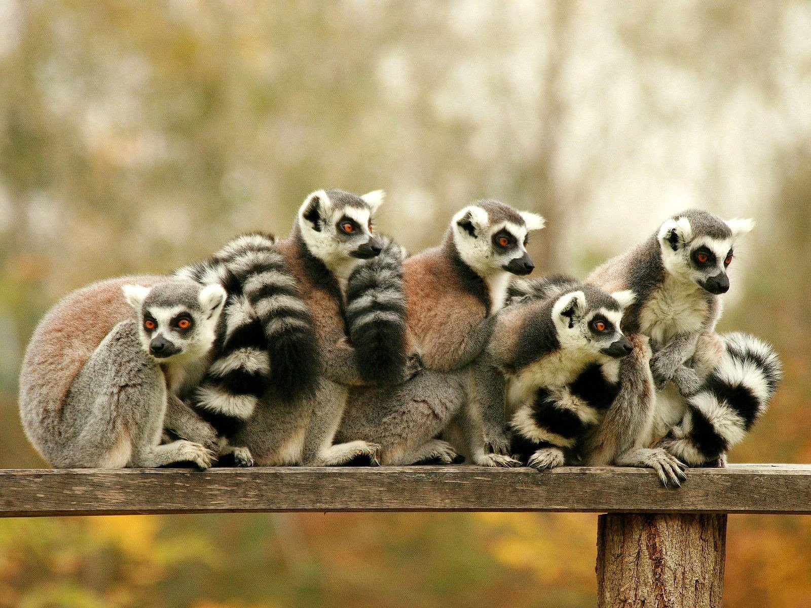 Lemur Wallpaper and Background Image | 1600x1200 | ID ...