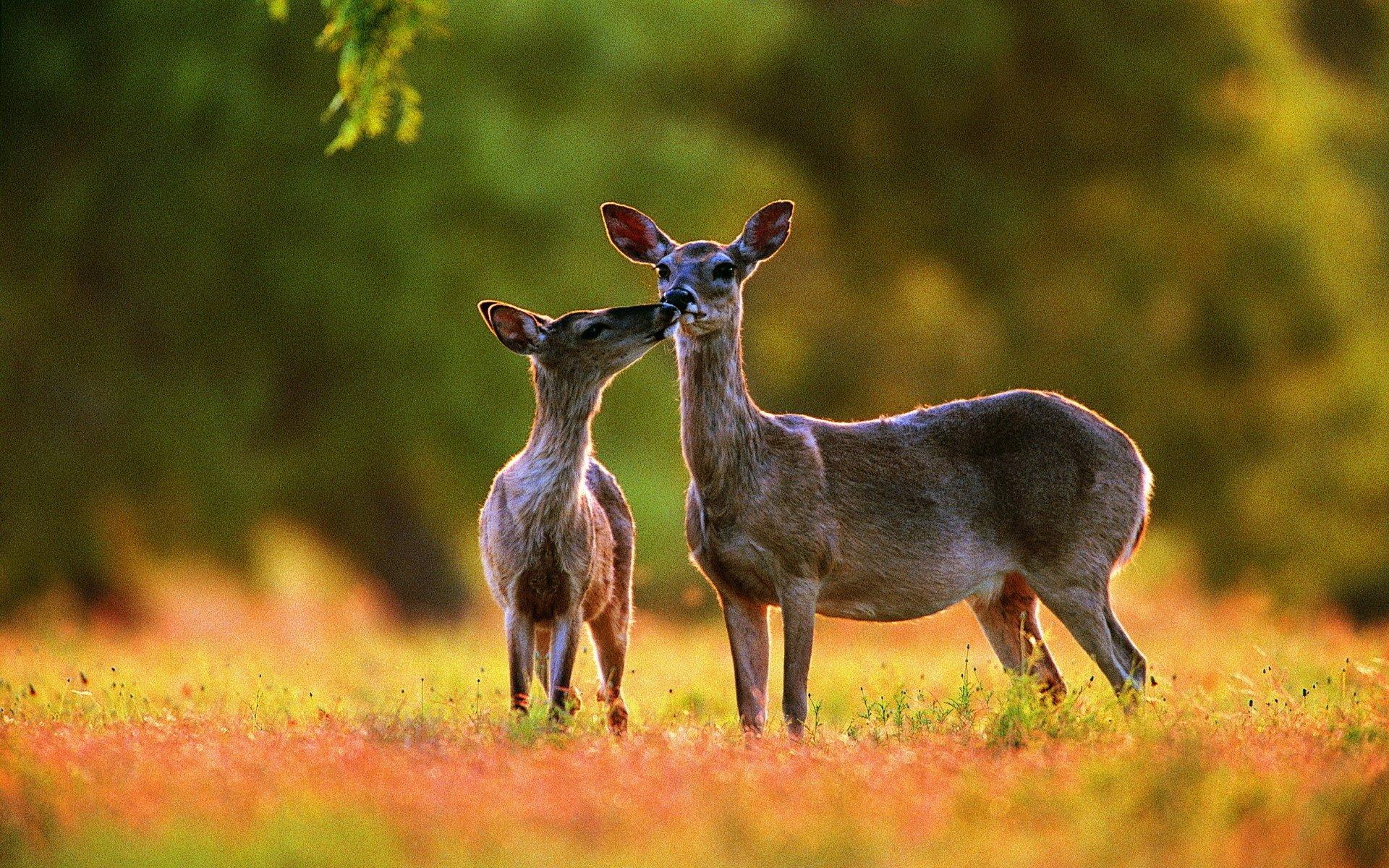 8k Animal Wallpaper Download: Deer HD Wallpaper