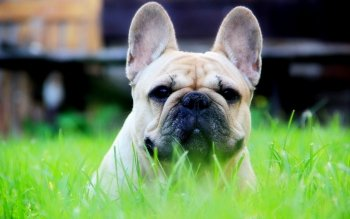 Animal - Bulldog Wallpapers and Backgrounds ID : 417037