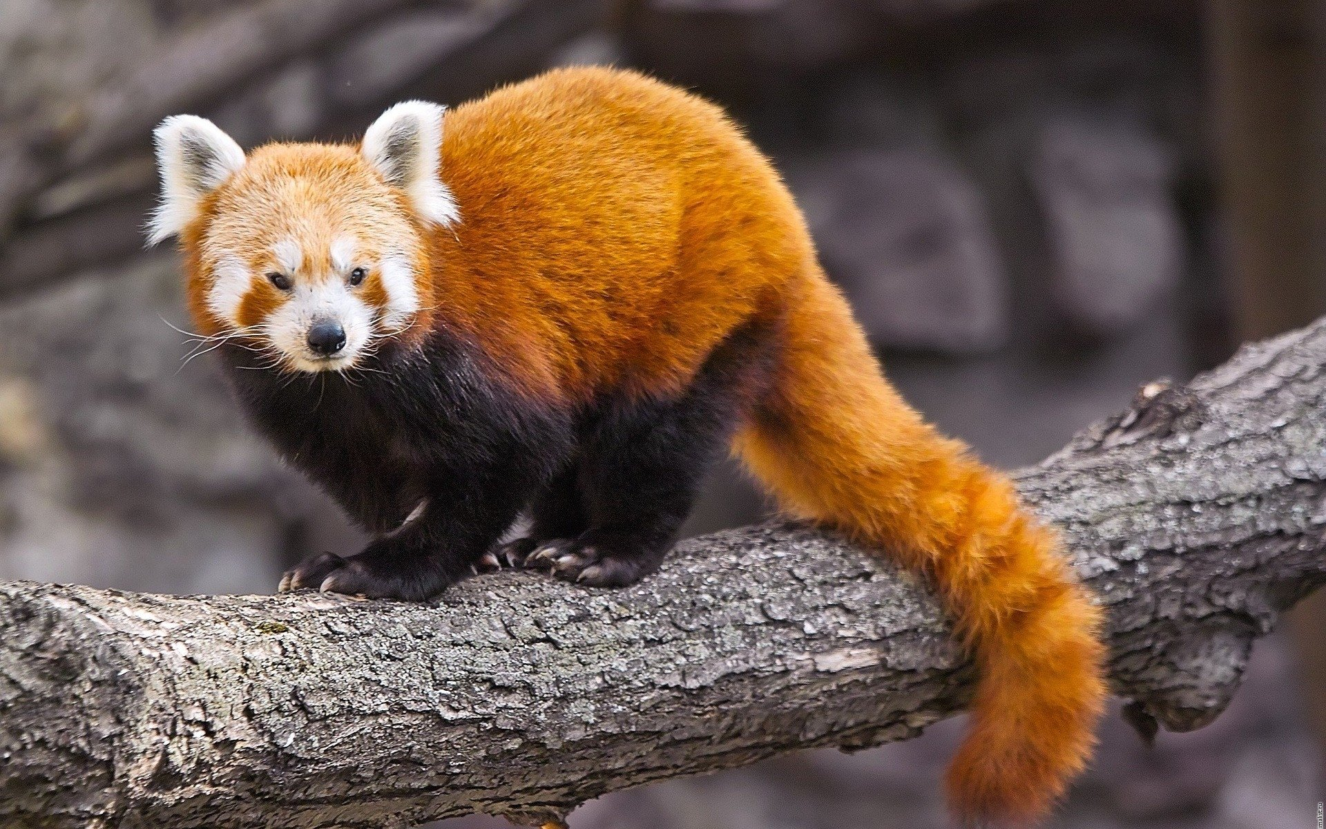Panda Roux Full HD Fond d'écran and Arrière-plan | 1920x1200 | ID:419499