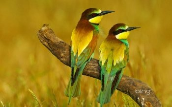 Animalia - Bee-eater Wallpapers and Backgrounds ID : 419495