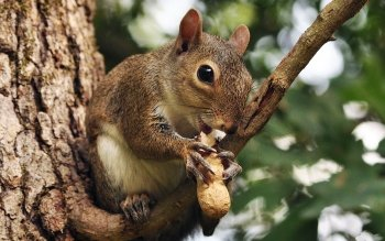 Animalia - Squirrel Wallpapers and Backgrounds ID : 419543