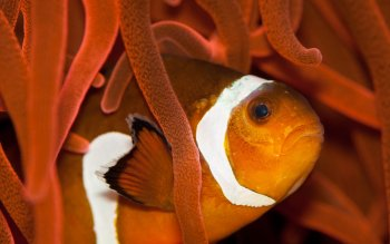 Animal - Clownfish Wallpapers and Backgrounds ID : 419599