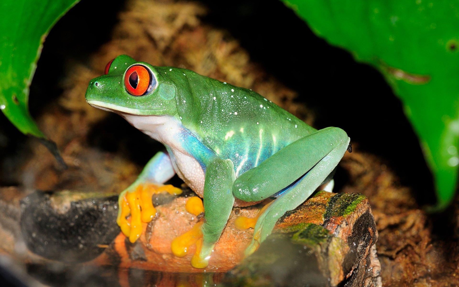 Animal - Red Eyed Tree Frog  Frog Wallpaper