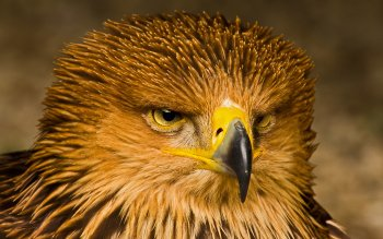 Animal - Eagle Wallpapers and Backgrounds ID : 420094