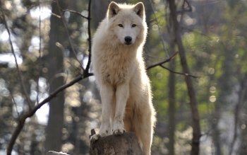 Dierenrijk - Wolf Wallpapers and Backgrounds ID : 421126