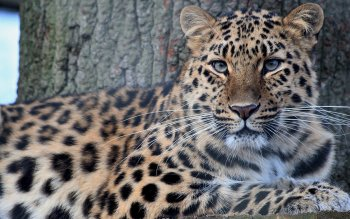 Animalia - Leopard Wallpapers and Backgrounds ID : 421411